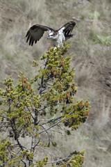 _DSF3521 (jiggumbob) Tags: thorntoncanyon grandcoulee washingtonstate osprey