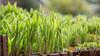 Frühling ... (marschel_arts) Tags: gras grün frühling licht sonne wasser wassertropfen