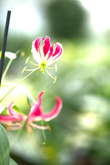 The Light of the Gloriosa (allnights1) Tags: gloriosa lily bokeh red colour color