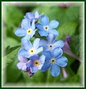 Forget Me Nots (ERIK THE CAT Struggling to keep up) Tags: wildflowers hydelea staffordhire doublefantasy ngc npc