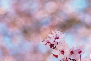 Cherry blossom bubbles