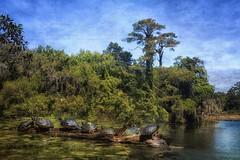 7 Up (shuddabrudda) Tags: turtles mapturtles baskingturtles warmsun localwarming texturedphoto texture texturized log tree nikond7200 nikkor18200mm airliegardens northcarolina