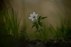 On the forest floor.. (Bomonsted) Tags: bokehlicious bokeh anemone nemorosa carlzeiss apo sonnar t 135mmf2