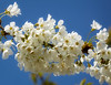 Wild cherry blossom day 2 (Colin-47) Tags: wildcherryblossom sunlight colin47 eos6d ef70300mmf456isiiusm april 2018 norfolk spring sky comparissons nature