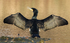 Cormorant,  Phalacrocorax carbo (michael.smith86) Tags: cormorant phalacrocoraxcarbo wings spread plumage eastriding yorkshire flamborough contemporary 150600mm sigma photography wildlife canon7dmk2 spreadingwings openbeak