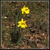 Spring_9134d (bjarne.winkler) Tags: spring time first cool flowers shows up greet us
