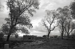 Escorte (Atreides59) Tags: arbre tree arbres trees belgique belgium ciel sky nuages clouds vache cow nb noir blanc noiretblanc bw black white blackandwhite bunker blockhaus blockhouse guerre mondiale world war ww wwii ww2 welt krieg weltkrieg atlantic atlantik atlantique wall atlantikwall murdelatlantique pentax k30 k 30 pentaxart atreides atreides59 cedriclafrance vestige vestiges