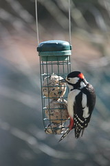 Der Buntspecht mag auch Meisenknödel (Vasquezz) Tags: vogel bird garten garden buntspecht dendrocoposmajor greatspottedwoodpecker spottedwoodpecker woodpecker twitter