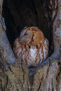 Eastern Screech Owls of NJ | 2018 - 1