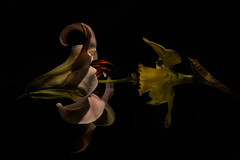 Close to each other in the dark (PentlandPirate of the North) Tags: upcloseandpersonal lily daffodil sayingitwithflowers passionate sensual flowerplay romantic love ~flickrinnes flickrinnes