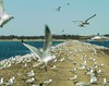 The Snowy Owls have left the building . . . (Dr. Farnsworth) Tags: birds snowyowl seagull road gravel hundreds alfredhitchcock movie migrate north muskegon mi michigan winter march2018