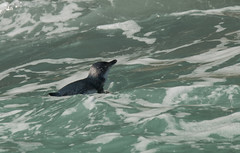 Little boy blue (eMMa_bOOm) Tags: penguin eudyptulaminor litllebluepenguin newzealand akaroa pacificocean swimming tiny bird waves colours coloured nature natural boat