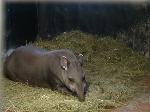 Тапиры в Калининградском зоопарке ©  ayampolsky