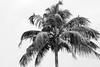 Cormorants in a Palm Tree, Kerala Backwaters (amanda & allan) Tags: india alleppey kerala riceboat riceboats palmtrees palms backwaters veniceoftheeast cormorant