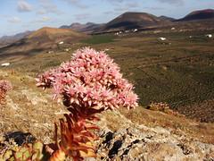 Bejeque de malpaís (Aeonium lancerottense) (currete84) Tags: tesa lanzarote volcan volcano flores primavera verol canarias montaña paisaje españa spain