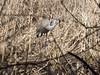 Crane 2 (jadedirishgryphon) Tags: sandhillcranes marsh wisconsin bird