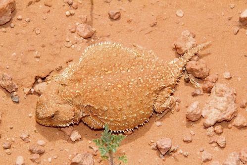 Greater Short-horned Lizard (Phrynosoma hernandesi); Keg Knoll, Utah