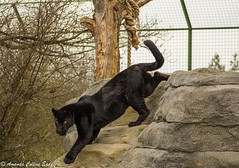 'Is there anything better than to be longing for something, when you know it is within reach?' Greta Garbo (amandacollinseade) Tags: handreared endangered bigcatsaboutthehouse bigcatsanctuary blackjaguarcub blackjaguar maya