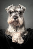 Eddy The Eyebrows (seegarysphotos) Tags: dog dogportraits fur cute funny happy fun canine woof schnauzer pose garylewis seegarysphotos