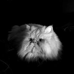 (rfellipe) Tags: pet persa gatopersa persian bw pb dark cat persiancat catmoments