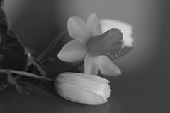 Anemones and Daffodils (Explored 2018-04-05) (Gisou68Fr) Tags: anemones anémones anémone jonquille narcisse daffodil daffodils anemone composition noiretblanc blackwhite monochrome canoneos650d ef100mmf28lmacroisusm