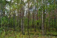 Pinery with oak understory (МирославСтаменов) Tags: russia pinery birch oak forest understory moscowregion trunk