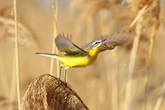 CUTRETTOLA (zagor64.) Tags: colori sentina uccelli giallo volo