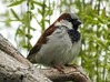 Male House Sparrow (starmist1) Tags: willow weepingwillow branch limb perch housesparrow april spring bud budding