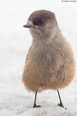 Siberian jay close-up [Explored] (uusija) Tags: perisoreusinfaustus siberianjay bird kuukkeli linnut luonto nature