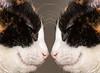 Showdown (Evoljo) Tags: photoshop cats pussys fur eyes stare whiskers nikon d500