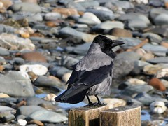 Hooded crow (Deanne Wildsmith) Tags: crow hoodedcrow douglas isleofman earthnaturelife