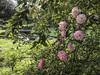 IMG_5006_2 Ninfa : Le ultime rosselline autunnali del parco . (sandromars) Tags: italia lazio latina ninfa roselline autunnali