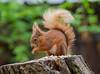 Red Squirrel IOW 22-04-2018-5322 (seandarcy2) Tags: mammal squirrel iow uk alverstone nr
