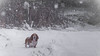 Its Snowing (mejud) Tags: basset hound dog snow winter cold snowflakes white boo bassethound