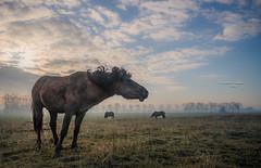 Shake your body (Ingeborg Ruyken) Tags: ochtend morning horses 500pxs empel maart paarden empelfilmpjewinter2018 dawn kanaalpark winter natuurfotografie dropbox koniks flickr march