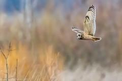 Short-eared owl-6234.jpg (oregondew) Tags: asioflammeus shortearedowl diamondhilldr