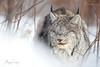 Sleeping Beauty (Megan Lorenz) Tags: lynx canadalynx cat feline wildcat animal mammal nature wildlife wild wildanimals ontario canada northernontario north mlorenz meganlorenz