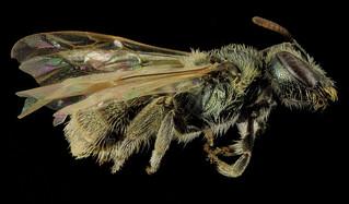 Lasioglossum abundipunctum, F, Side, WY, Lincoln County_2014-06-06-12.39