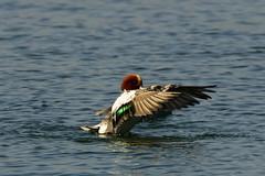 DSC02533 - Wigeon (steve R J) Tags: wigeon south hanningfield reservoir ewt reserve essex birds wildfowl british