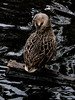 A Duck and Tuck (Steve Taylor (Photography)) Tags: preening bird duck black brown contrast water lake liquid newzealand nz southisland canterbury christchurch