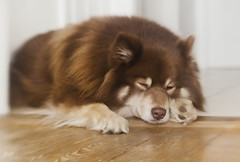 caught napping 12/52 & 29/100x 2018 (sure2talk) Tags: tasku finnishlapphund caughtnapping snoozing sleeping nikond7000 lensbaby lensbabycomposerpro lensbabylove sweet50optic flash speedlight sb900 offcamera diffused softbox we2532018 52weeksfordogs 1252 100xthe2018edition 100x2018 image29100 29100x2018 100shotswithalensbaby 118picturesin201899sleeping
