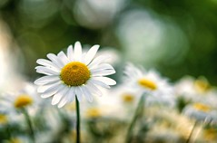 es riecht nach Frühling! (Andreas.W.) Tags: vintage vintagelens pentacon135f28 pentacon orestor meyergörlitz flowers