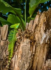 Costa Rica Photography Workshop - Emerald green basilisk lizard (Elm Studio) Tags: copyright copyrighted jeffmorgan elmstudio jeffelmstudiocom wwwelmstudiocom 4407542933700 isleofwight uk 2018 costarica appicoftheweek morgan emeraldgreenbasilisklizard chilamate mirrorless telephoto panasonic rainforest cri