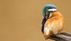 Eisvogel(Alcedo atthis) Kingfisher,Wildlife,Wümmeniederung-Bremen©Arne Flemke (Arne Flemke-Gezeiten Photography) Tags: kingfisher eisvogel bremen wümme wümmewiesen