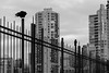 guardians (bluechameleon) Tags: burrardbridge sharonwish architecture birds blackandwhite bluechameleonphotography buildings bw city clouds crows fence hirises lines silhouette structures towers urban vancouver