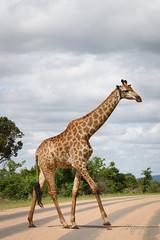 zebra crossing ;-) (pixpeeper) Tags: pixpeeper giraffe krugernationalpark kruger southafrica afriquedusud