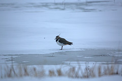 A very cold lapwing