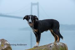 Frisbee (Flemming Andersen) Tags: middelfart regionofsoutherndenmark denmark dk brigde dog border collie water fog