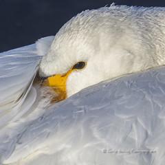 Whooper portrait (pixellesley) Tags: whooperswans swans birds birdwatching animal wild free resting wildlife close intimate feather frost eye beach bokeh lesleygooding japan cygnuscygnus