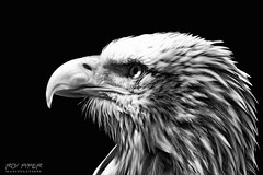 Eagle: Monochrome Oil Paint Edit (Roy Pyper) Tags: animals blackandwhite eagle monochrome oilpaint photography photoshop
